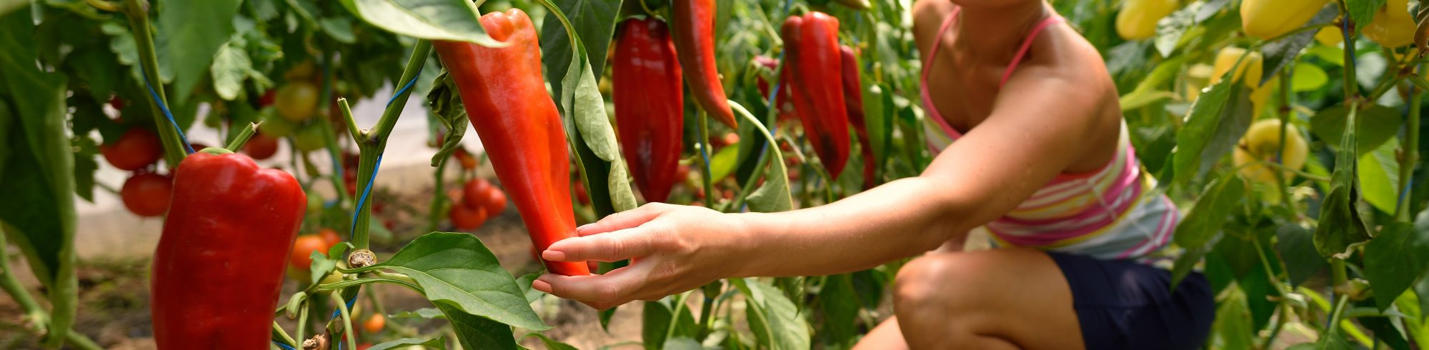 girl picking peppers in a garden
